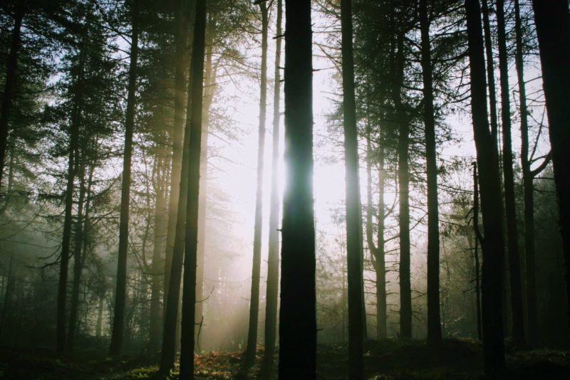 Daybreak through the pine trees at Freshfield